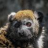 Alaotran lemur - Alaotran Gentle Lemur