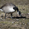 Kanadagås - Canada goose (Branta canadensis)