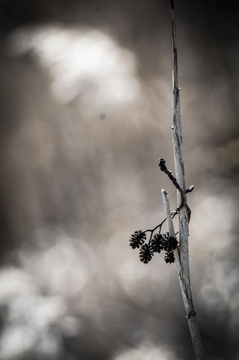 photoblog image Alkottar - Alder cones (Alnus)