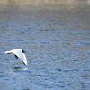 Skrattmås-Black-headed gull(Chroicocephalus ridibundus