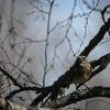 Björktrast - Fieldfare (Turdus pilaris)