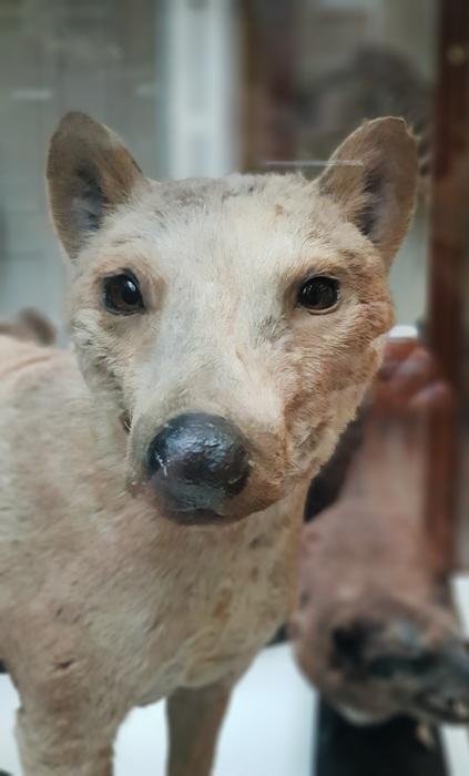 photoblog image Pungvarg - Thylacine