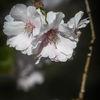 Körsbärblom - Cherry blossom