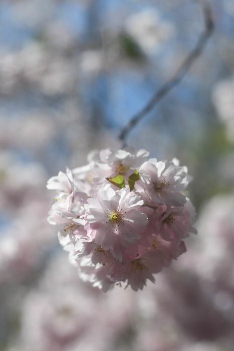 photoblog image Körsbärsblommor - Cherry blossoms