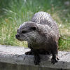 Asiatisk klolös utter - Oriental small-clawed otter