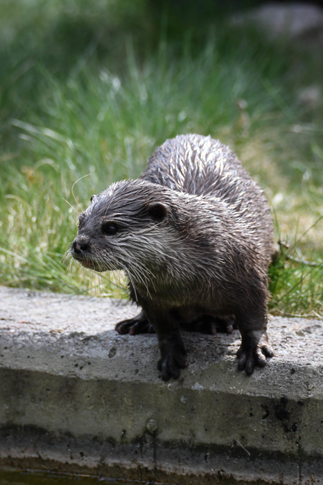 photoblog image Asiatisk klolös utter - Oriental small-clawed otter