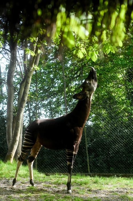 photoblog image Okapi (Okapia johnstoni)