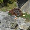 Orangutan (Pongo pygmaeus pygmaeus)