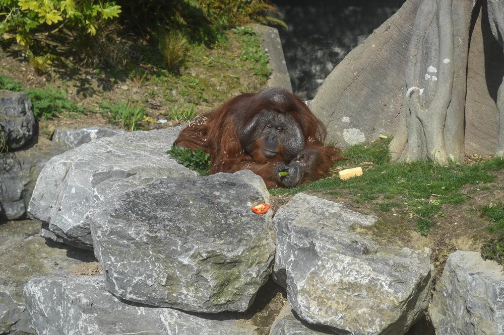 photoblog image Orangutan (Pongo pygmaeus pygmaeus)