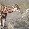 Giraff - Giraffe - Sioráf  (Giraffa camelopardalis)