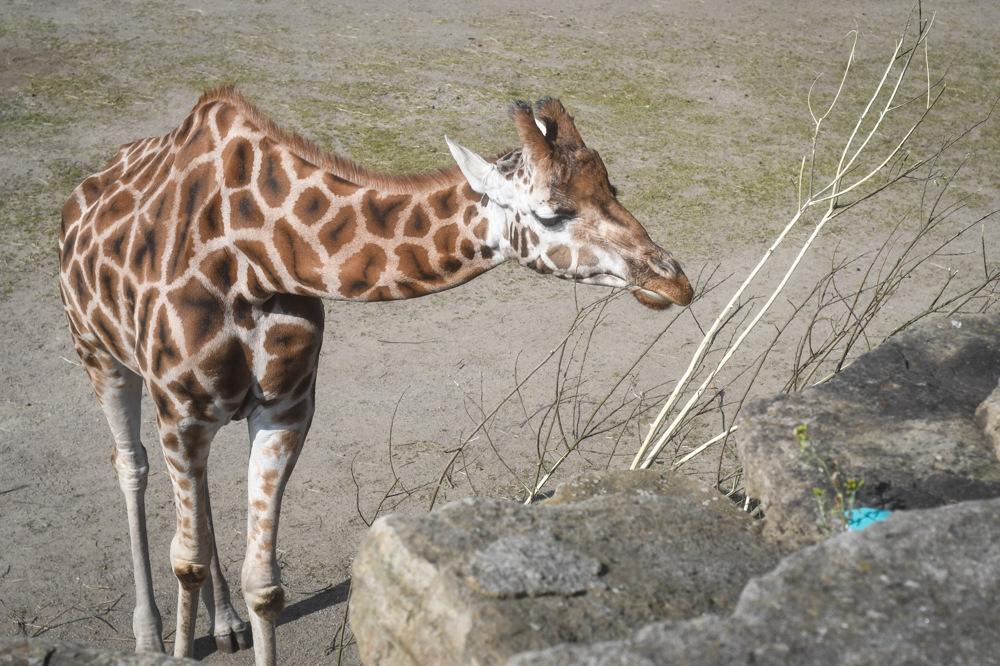 photoblog image Giraff - Giraffe - Sioráf  (Giraffa camelopardalis)