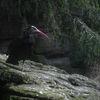 Eremitibis - Northern bald ibis (Geronticus eremita)