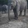 Asiatisk elefant - Asian elephant (Elephas maximus)