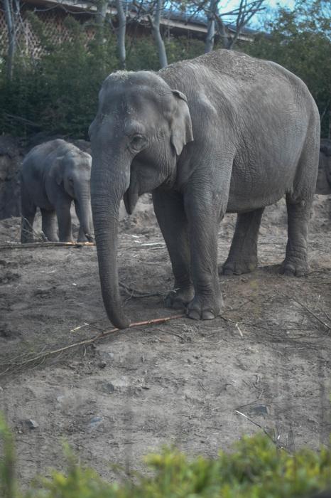 photoblog image Asiatisk elefant - Asian elephant (Elephas maximus)