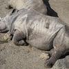 Trubbnoshörning - White Rhinoceros