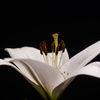 Lilja - Lily (Lilium)