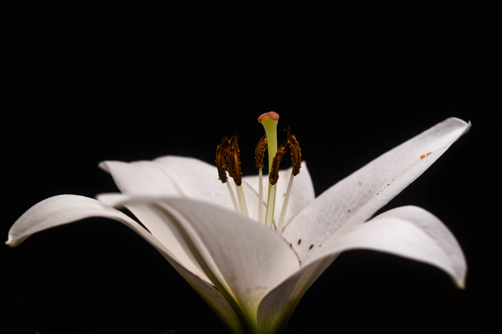 photoblog image Lilja - Lily (Lilium)