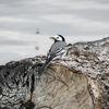 Sädesärla - White wagtail (Motacilla alba)