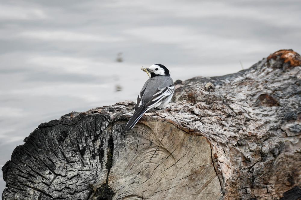 photoblog image Sädesärla - White wagtail (Motacilla alba)