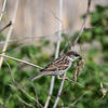 Gråsparv - House sparrow (Passer domesticus)