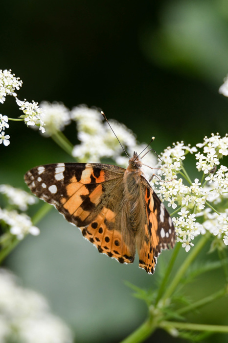 photoblog image Tistelfjäril - Painted lady (Vanessa cardui)