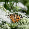Tistelfjäril - Painted lady (Vanessa cardui)