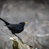 Koltrast - Common blackbird (Turdus merula)