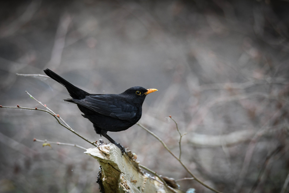 photoblog image Koltrast - Common blackbird (Turdus merula)