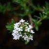 Timjan - Thyme (Thymus vulgaris)