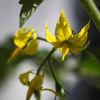 Tomat - Tomato (Solanum lycopersicum)