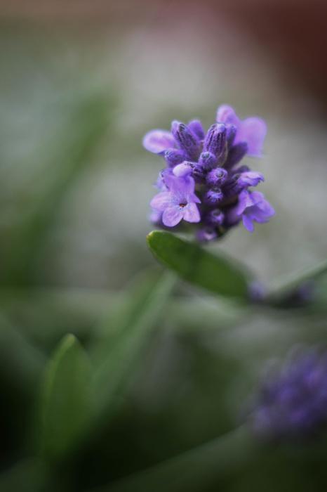 photoblog image Lavendel - Lavender (Lavandula angustifolia)
