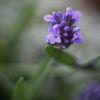 Lavendel - Lavender (Lavandula angustifolia)