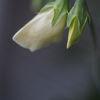 Luktärt - Sweet pea 'Swan lake' (Lathyrus odoratus)