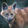Manvarg - Maned wolf (Chrysocyon brachyurus)