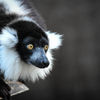 Svartvit vari - Black-and-white ruffed lemur