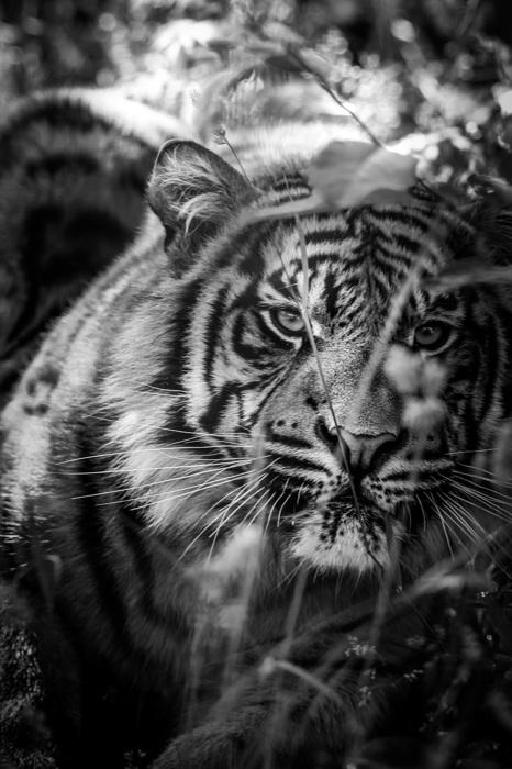 photoblog image Sumatratiger - Sumatran tiger(Panthera tigris sumatrae)