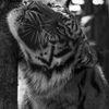 Sumatratiger - Sumatran tiger(Panthera tigris sumatrae)