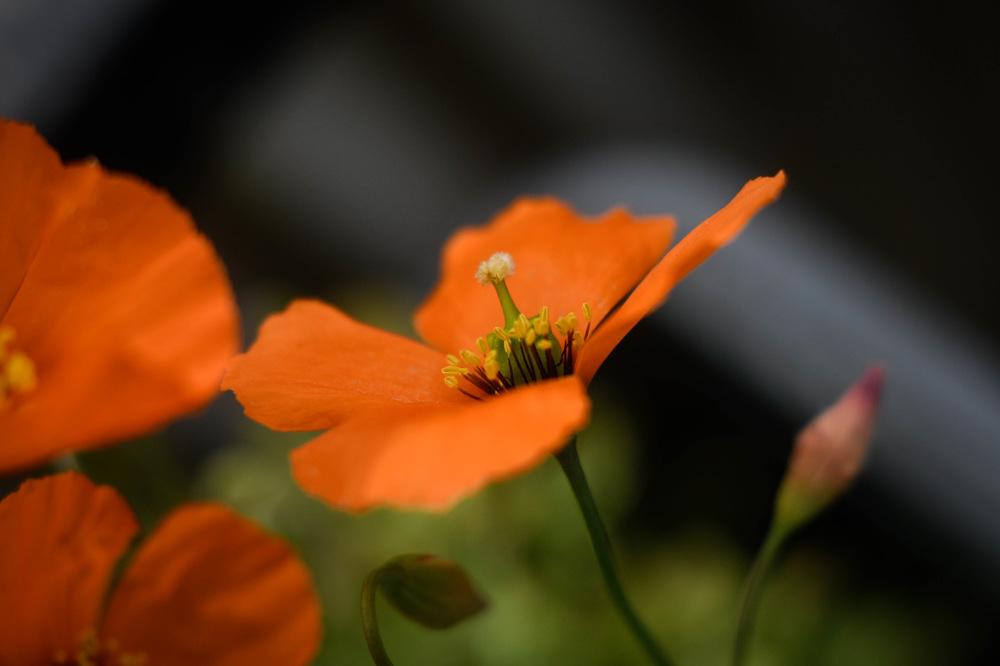 photoblog image Vindvallmo - Windpoppy (Stylomecon heterophylla)