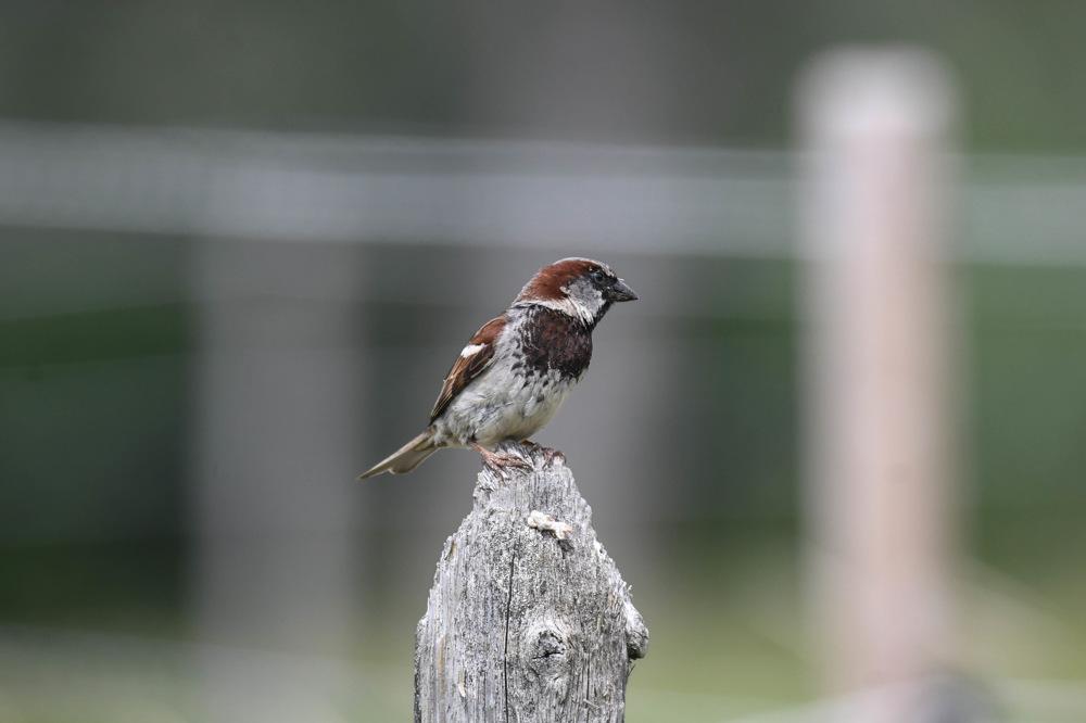 photoblog image Gråsparv - House sparrow (Passer domesticus)