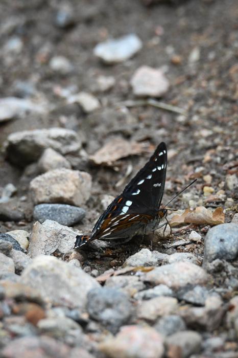 photoblog image Aspfjäril - Poplar admiral (Limenitis populi)