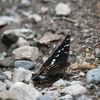 Aspfjäril - Poplar admiral (Limenitis populi)