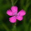 Backnejlika - Maiden pink (Dianthus deltoides)