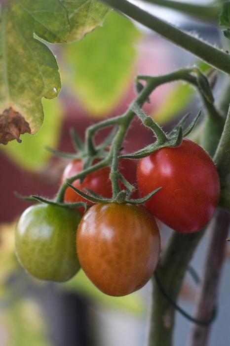photoblog image Tomat - Tomato (Solanum lycopersicum)