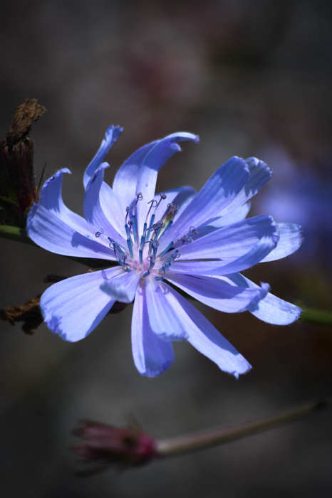photoblog image Cikoria -  Chicory (Cichorium intybus)