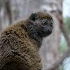 Alaotranlemur - Alaotran Gentle Lemur