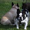 Fransk bulldogg - French bulldog