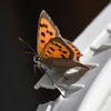 MIndre guldvinge - Small copper (Lycaena phlaeas)