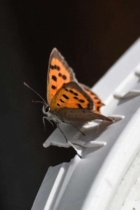 photoblog image MIndre guldvinge - Small copper (Lycaena phlaeas)