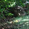 Fälthare - European hare (Lepus europaeus)