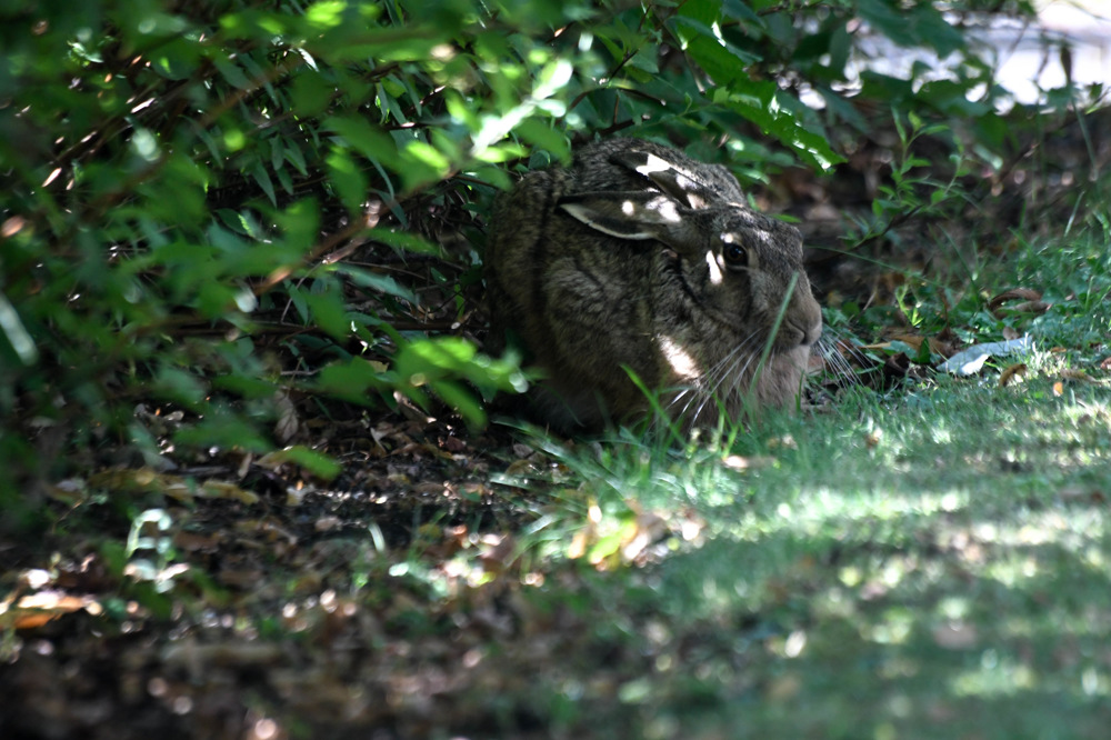 photoblog image Fälthare - European hare (Lepus europaeus)
